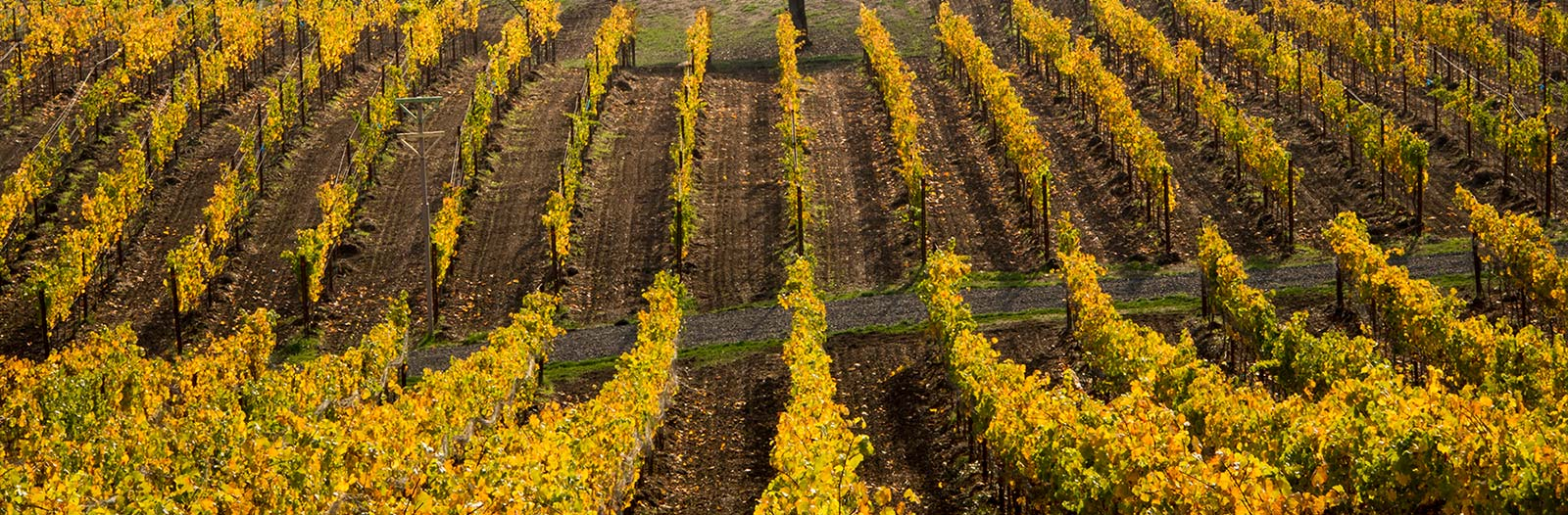 Vineyard-Gold