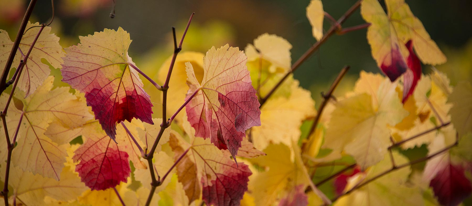 Autumn-Leaf-Background