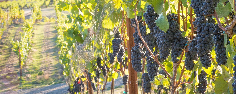 Biodynamic grape growing Keeler Estate