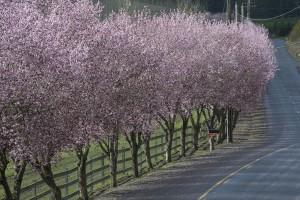 Blossoms oregon wine country spring Keeler Estate