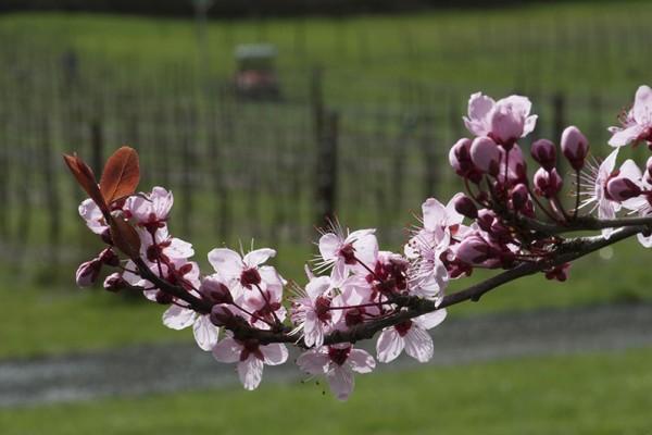 Keeler Estate Vineyard - Oregon Spring